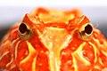 Horned Frog (1).jpg