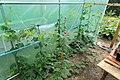 Horngurke - Kiwano - Cucumis metuliferus im Folienhaus, kletternd 02 ies.jpg