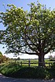 Horse Chestnut Tree near Northiam - geograph.org.uk - 419573.jpg