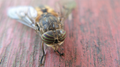 Horsefly, recovering from being swatted. (6060736407).png