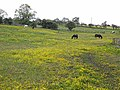 Horses in buttercup field - geograph.org.uk - 1338781.jpg