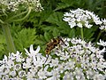 Hover Fly on Giant Hog Weed - geograph.org.uk - 854084.jpg