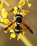 Hoverfly August 2007-2.jpg