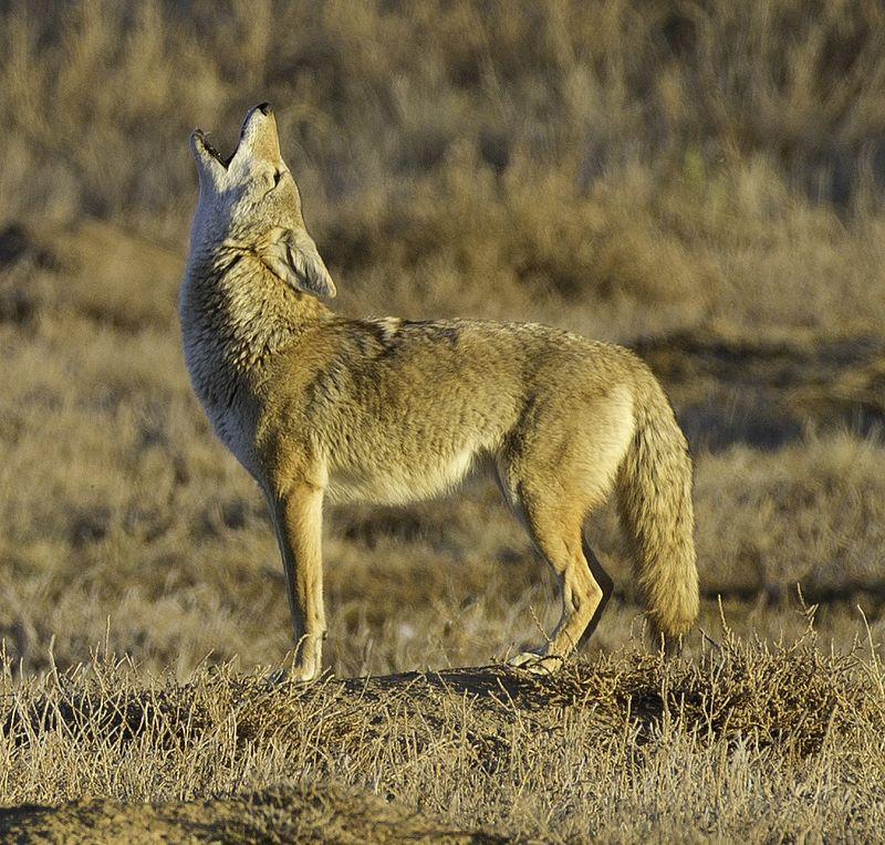Howl (cropped).jpg
