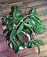 Hoya pubicalyx (hydroponics) 01.jpg
