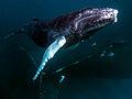Humpback Whales - South Bank 1.jpg