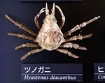 Hyastenus diacanthus - National Museum of Nature and Science, Tokyo - DSC06765.JPG