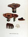 Hydnum zonatum — Flora Batava — Volume v17.jpg