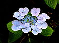Hydrangea macrophylla 005.JPG