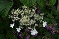 Hydrangea petiolaris A.jpg
