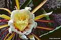 Hylocereus monacanthus1b.BHAM.jpg