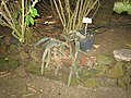 Hylocereus undatus - Jardin d'Éden.JPG