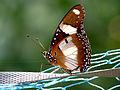 Hypolimnas misippus by kadavoor.jpg