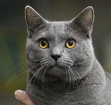 Chartreux Chat Wikip 233 Dia