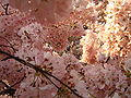 IMG 2403 - Washington DC - Tidal Basin - Cherry Blossoms.JPG