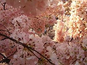 IMG 2403 - Washington DC - Tidal Basin - Cherry Blossoms.JPG