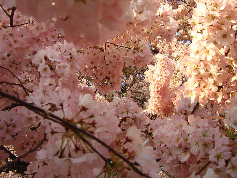 File:IMG 2403 - Washington DC - Tidal Basin - Cherry Blossoms.JPG