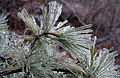 Icy pine, Boxborough, Massachusetts, 2008.jpg