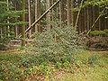 Ilex aquifolium 28 ies.jpg