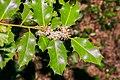Ilex aquifolium in Aveyron (13).jpg
