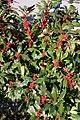 Ilex verticillata Winter Red 9zz.jpg