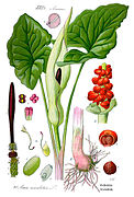 Illustration Arum maculatum1.jpg