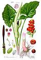 Illustration Arum maculatum1.jpg