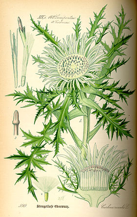 Illustration Carlina acaulis0.jpg