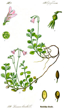 Illustration Linnaea borealis1