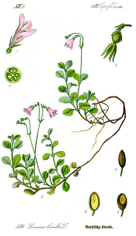 Illustration Linnaea borealis1.jpg