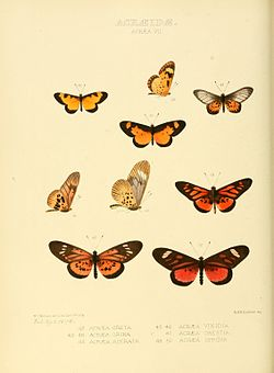 Illustrations of new species of exotic butterflies Acræa VII.jpg