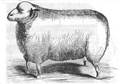 Illustrirte Zeitung (1843) 12 182 2 Leicester Schur-Widder des Herrn Stone.PNG