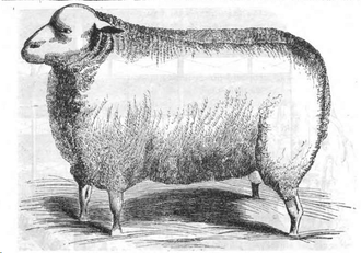 English Leicester sheep - Leicester ram at the 1843 Royal Agricultural Show in Derby