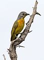 Immature Orange-breasted bushshrike, Chlorophoneus (Telophorus) sulfureopectus, at Chobe River, Kasane, Botswana (32524126866).jpg