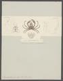 Inachoïdes microrhynchus - - Print - Iconographia Zoologica - Special Collections University of Amsterdam - UBAINV0274 095 21 0005.tif
