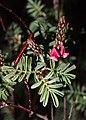 Indigofera basedowii flowers.jpg