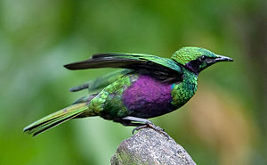 Emerald starling - Image: Iris Glossy Starling side color