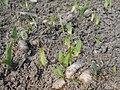 Iris aphylla 2018-04-10 8109.jpg