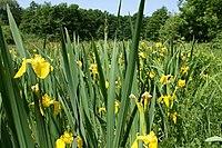 Iris pseudacorus PID1326-1.jpg