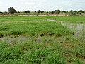 Irrigated rice cultivation in the Senegal River Valley - panoramio (30).jpg