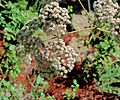J20160915-0027—Eriogonum giganteum var giganteum—RPBG—DxO (29304814843).jpg