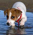 Jack Russell Terrier Puppy Lola.jpg