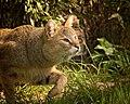 Jack The Jungle Cat (210902313).jpeg