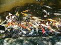 Japanese Fish in Pond 1.jpg