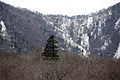 Japanese White Pine Pinus parviflora Miyagi Prefecture.jpg