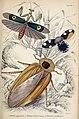 Jardine Naturalist's library Entomology Plate 7.jpg