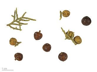 Juniperus phoenicea - Juniperus Phoenicea - MHNT