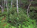 Juniperus communis Haddal Norway.jpg