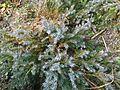 """Juniperus procumbens""""Sonare"""".jpg"""
