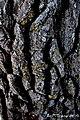 Justificación veterana la de este pino con el desencajado relieve que le crea esa corteza gruesa y protectora - panoramio.jpg